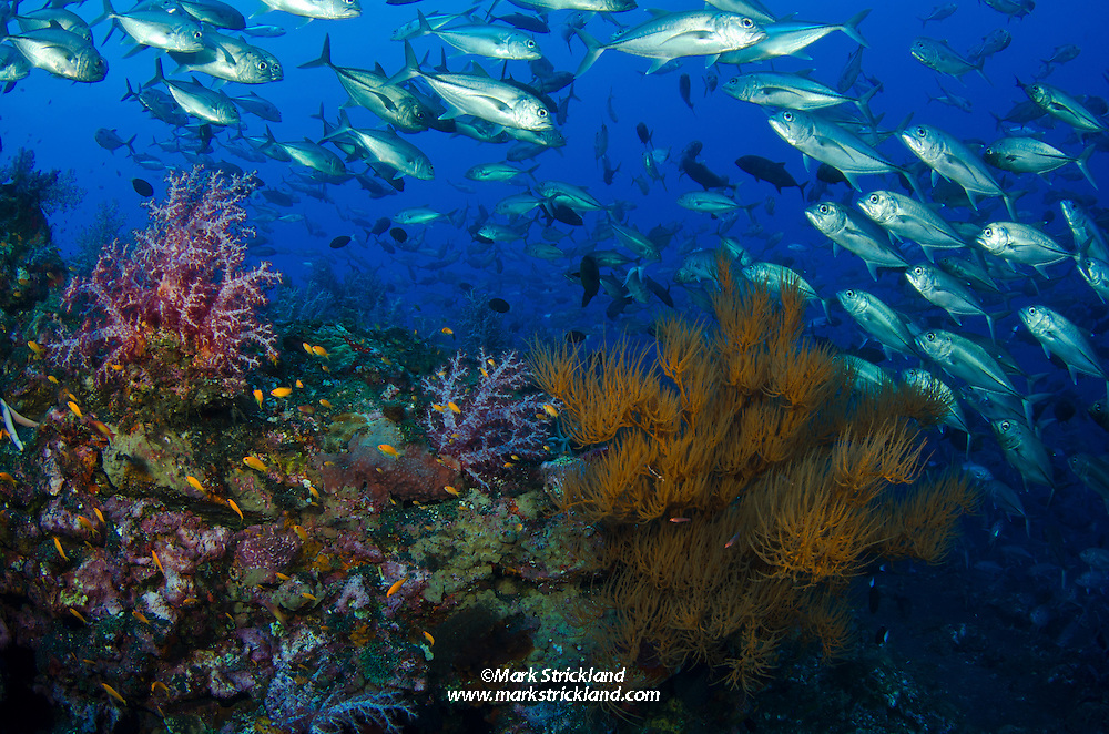 A school of Bigeye Trevally, Caranx sexfasciatus, hover beyond colonies of soft and black corals, surrounded by dark volcanic substrate. Black Magic, Barren Island, Andaman Islands, India, Andaman Sea