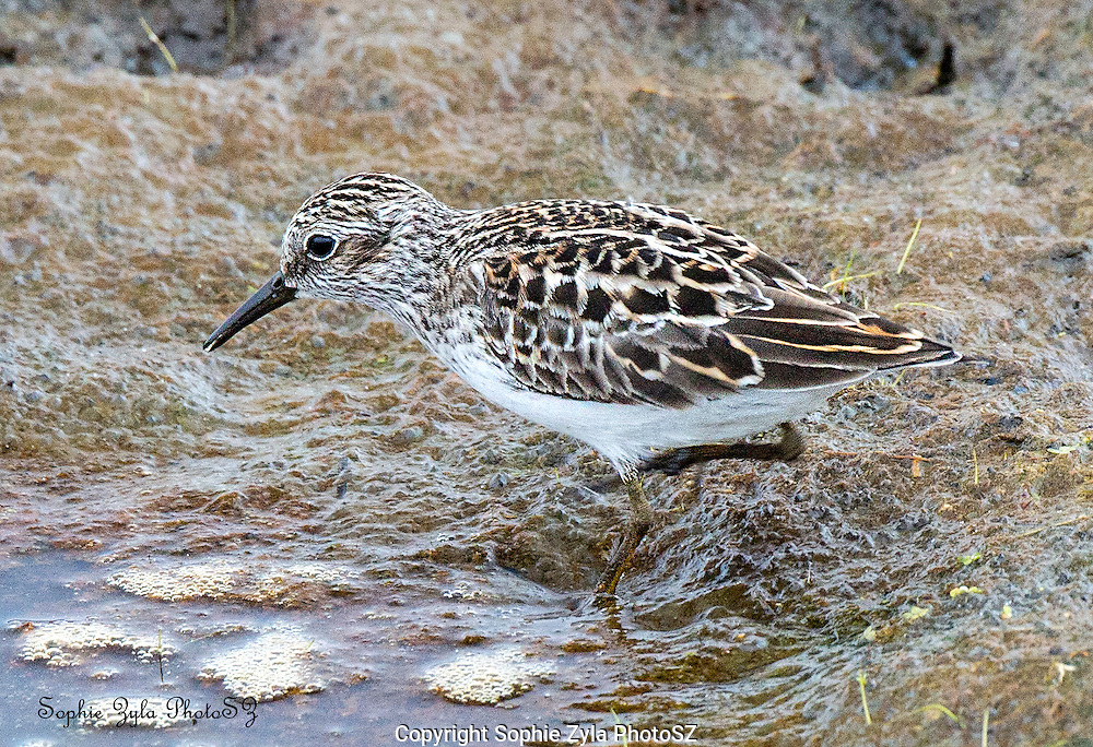 Least Sandpiper takes a drink