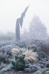 Sequoiadendron giganteum 'Pendulum' on a frosty, foggy morning. Box topiary of bear in the foreground