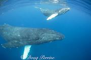 humpback whale, Megaptera novaeangliae, female with calf, A'u A'u Channel, off West Maui, Hawaii, Hawaii Humpback Whale National Marine Sanctuary, USA ( Central Pacific Ocean )