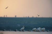 White spoonbill (Platalea leucorodia), Herring gulls (Larus argentatus) and White pelicans (Pelecanus onocrotalus), Lake Belau, Moldova