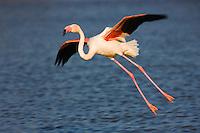 Greater Flamingos (Phoenicopterus roseus) landing in lagoon,  Camargue, France