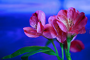 FLOWERS-MACRO-CLOSEUP-EXPRESSIVE PHOTOGRAPHY,DIGITAL DREAMSCAPE