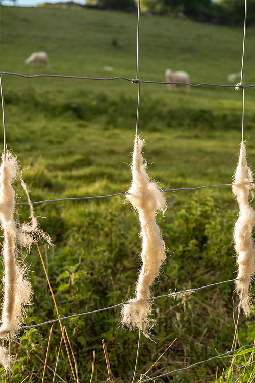 Discarded wool shed on stock fencing by Easycare sheep - a wool-shedding breed whose fleece removes itself and avoids sheep shearing during Coronavirus COVID-19 virus pandemic, UK