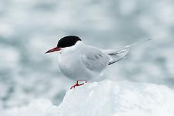 Arctic tern (Sterna paradisaea) in Hornsund, Svalbard