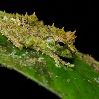 Mossy Tree Frog (Philautus macroscelis), male. Sarawak, Malaysia (Borneo).