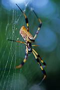 Golden-silk Spider (Nephila clavipes) on web - Mississippi
