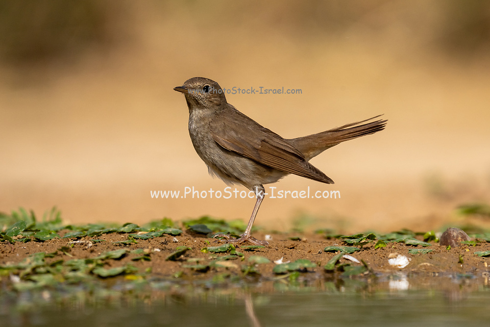 The thrush nightingale (Luscinia luscinia), also known as the sprosser, is a small passerine bird that was formerly classed as a member of the thrush family Turdidae, but is now more generally considered to be an Old World flycatcher, Muscicapidae.[2] It, and similar small European species, are often called chats. Photographed in Israel in May
