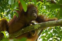 Young adult female Bornean Orangutan (Pongo pygmaeus).(Walima aka Martina)