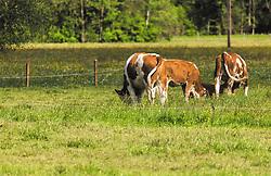 THEMENBILD - Kühe (Fleckvieh) grasen auf einer eingezäunten Wiese, aufgenommen am 23. Mai 2019, Kaprun, Österreich // Cows (Fleckvieh) graze on a fenced meadow on 2019/05/23, Kaprun, Austria. EXPA Pictures © 2019, PhotoCredit: EXPA/ Stefanie Oberhauser