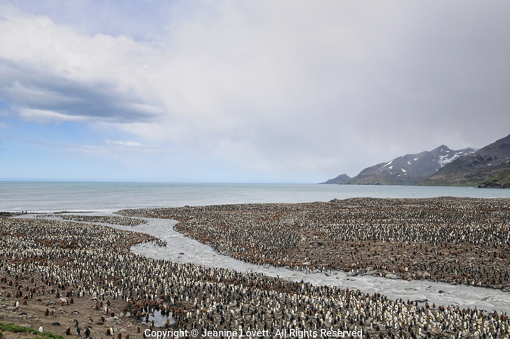 Ross glacier melting is creating a fresh water stream that cuts threw the penguin colony.