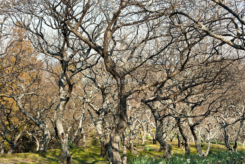 twisted branches of bare cherry trees Japan