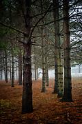 A Percheron noses the morning mist among the pines at Mountsberg, Ontario