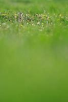 Spotted Souslik (Spermophilus suslicus), Werbkowice-Zamosc, Sunsilks,<br /> Werbkowice-Zamosc, Poland<br /> Sciuridae family<br /> Rodent
