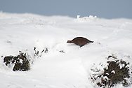 Red Grouse trying to find a sheltered spot on the Derbyshire moors.