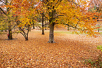 Autumn leaves near The Sailboat Pond in Central Park, Nov. 11, 2020.