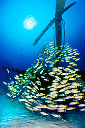 school of bluestripe snappers, Lutjanus kasmira, Sailboat wreck, Kona, Big Island, Hawaii, USA, Pacific Ocean