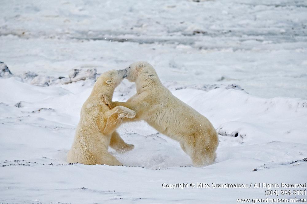 Young polar Bears (Ursa maritimus) sparring on sub-arctic Hudson Bay <br />Churchill<br />Manitoba<br />Canada