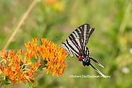 03006-00509 Zebra Swallowtail (Protographium marcellus) on Butterfly Milkweed (Asclepias tuberosa) Marion Co. IL