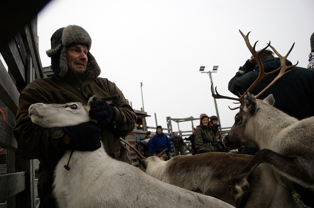 Hirvas Salmi, FINLAND.  October 14, 2007- Matti Nakkallarve, 51, corrals reindeer during the first roundup of the year.  Despite the inhospitable Arctic climate reindeer herding has been the livelihood of the Sami for more than a thousand years, but amind the economic, technological, and environmental problems of modern society their indigenous culture must increasingly reconcile these radical changes in order to preserve age-old traditions, customs, and mores...