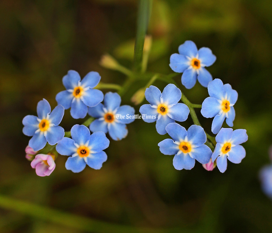 Forget me nots bloom in the new Elwha sediment delta along with many other plants making a foothold in the sediment. (Steve Ringman / The Seattle Times)