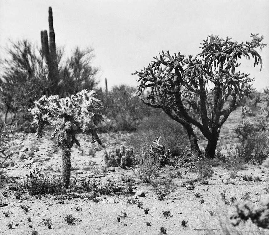 Cacti, Painted Desert, Arizona, USA, 1926