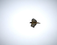 Red-tailed Hawk in flight at the Sourland Mountain Preserve. Image taken with a Nikon D300 camera and 18-200 mm VR lens (ISO 200, 200 mm, f/10, 1/400 sec).