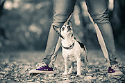 Rat Terrier dog portrait with owners feel at Fells park