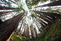 Wide Angle Looking up from a Coastal Redwood Forest. Image taken with a Nikon D3x and 14-24 mm f/2.8 lens (ISO 100, 14 mm, f/16, 2.5 sec). Raw image converted using Adobe Camera Raw 6.2 default.