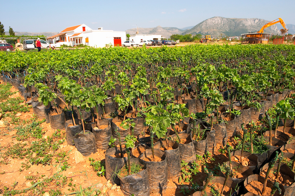The winery's own vine nursery. Young plants Standing in plastic bags with watering tubes for irrigation. Thousands of vines. Winery building in the background. Vineyard on the plain near Mostar city. Hercegovina Vino, Mostar. Federation Bosne i Hercegovine. Bosnia Herzegovina, Europe.