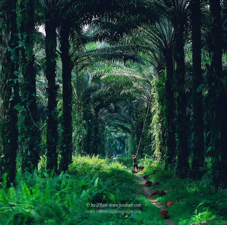 Harvesting oil palm in Sumatra, Indonesia