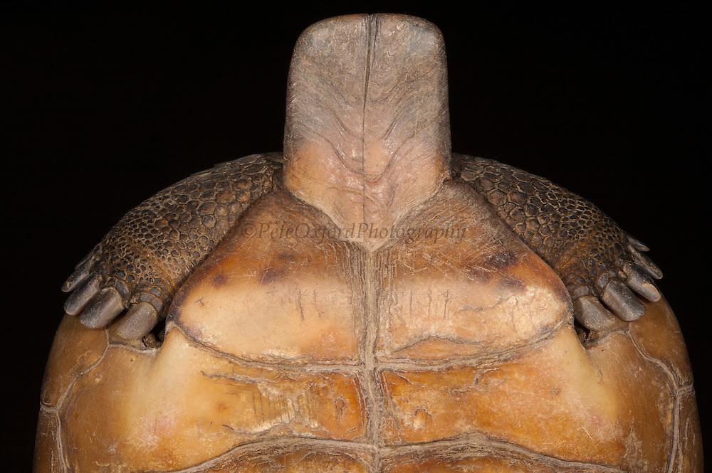 Gopher Tortoise (Gopherus polyphemus) Male plastral projection - highly developed.<br /> The Orianne Indigo Snake Preserve<br /> Telfair County. Georgia<br /> USA<br /> Threatened species in Georgia<br /> HABITAT & RANGE: Longleaf pine & oak forests & sandhills & areas of good ground cover. Southeast USA