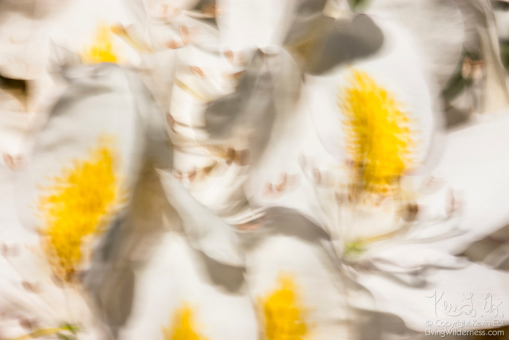 A long exposure captures the movement of white rhododendron Chionoides blossoms blowing in the breeze in Snohomish County, Washington.