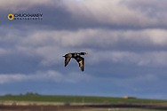 Double Crested Cormorant in flight at Freezeout Lake WMA near Fairfield, Montana, USA