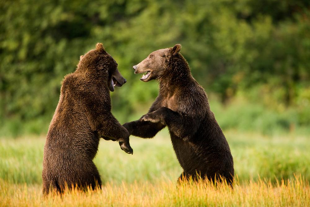 USA, Alaska, Katmai National Park, Brown Bears (Ursus arctos) sparring along  Kukak Bay in late summer