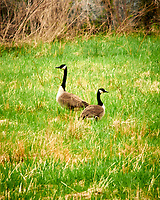 Canada Goose (Geese). Sourland Mountain Preserve. Image taken with a Nikon D300 camera and 80-400 mm lens.