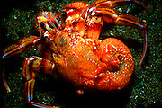 UNDERWATER MARINE LIFE EAST PACIFIC: Northeast CRABS: Hermit crab, out of shell Pagurus armatus