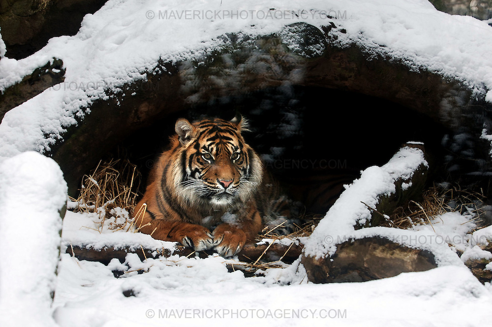 Residents of Edinburgh woke up to the city covered in snow which continued falling into the afternoon...Pic shows a Sumatran Tiger taking shelter under a tree from the snow at Edinburgh Zoo.