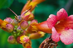 Wasp on trumpet Vine, Trinity River Audubon Center, Dallas, Texas, USA.