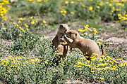 A pair of black tailed prairie dogs playing at the entrance to the colony burrow in the Rocky Mountain Arsenal National Wildlife Refuge in Commerce City, Colorado.