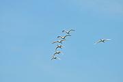 Israel, Coastal Plains, Maagan Michael, a flock of Eurasian Spoonbill or Common Spoonbill (Platalea leucorodia)