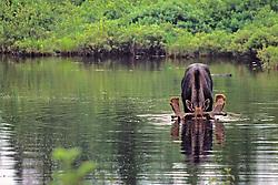 Male Moose Fedding W/ Head Under Water
