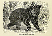 The American black bear (Ursus americanus) is a medium-sized bear endemic to North America. It is the continent's smallest and most widely distributed bear species. American black bears are omnivores, with their diets varying greatly depending on season and location. They typically live in largely forested areas, but will leave forests in search of food, and are sometimes attracted to human communities due to the immediate availability of food. Despite the name, some subspecies can be brown or even blond in coloration.  From the book ' Royal Natural History ' Volume 2 Edited by Richard Lydekker, Published in London by Frederick Warne & Co in 1893-1894