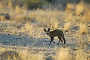 Bat-eared fox (Otocyon megalotis) | Der Löffelhund (Otocyon megalotis) sucht am Straßenrand gerne nach termieten