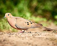 Mourning Dove (Zenaida macroura). Campos Viejos, Texas. Image taken with a Nikon D800 camera and 400 mm f/2.8 lens.