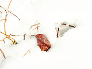 Skunk cabbage (Symplocarpus foetidus) pokes through the snow. University of Wisconsin-Madison Arboretum, Madison, Wisconsin, USA.