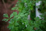 Itabirito_MG, Brasil...Horta hidroponica. Na foto, producao de salsas...hydroponic garden. In this photo, the parsley production...Foto: LEO DRUMOND / NITRO
