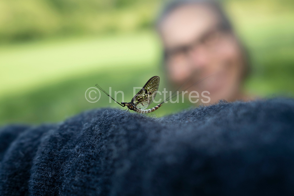 Woman looks at a Mayfly after the Mayflies hatched en masse from the River Teme on 23rd May 2020 near Martley, United Kingdom. Martley is a village and civil parish in the Malvern Hills district of the English county of Worcestershire. Mayflies are aquatic insects belonging to the order Ephemeroptera. This order is part of an ancient group of insects termed the Palaeoptera, which also contains dragonflies and damselflies.