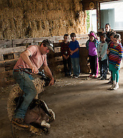 Jeff Keyser gives Mrs. Phillip's 4th graders from Gilmanton Elementary an upclose look of how he shears a Suffolk Sheep during their field trip to Ramblin' Vewe Farm in Gilford on Wednesday.  (Karen Bobotas/for the Laconia Daily Sun)