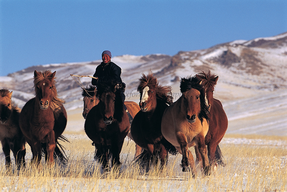 Domestic horses<br /> Hustain Nuruu National Park<br /> Mongolia<br /> Being moved to spring grazing ground